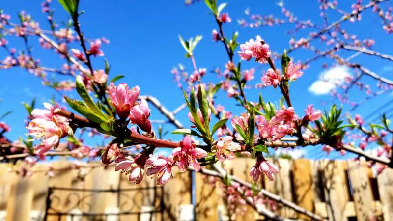 果农的梦里田园---春看桃花秋收果